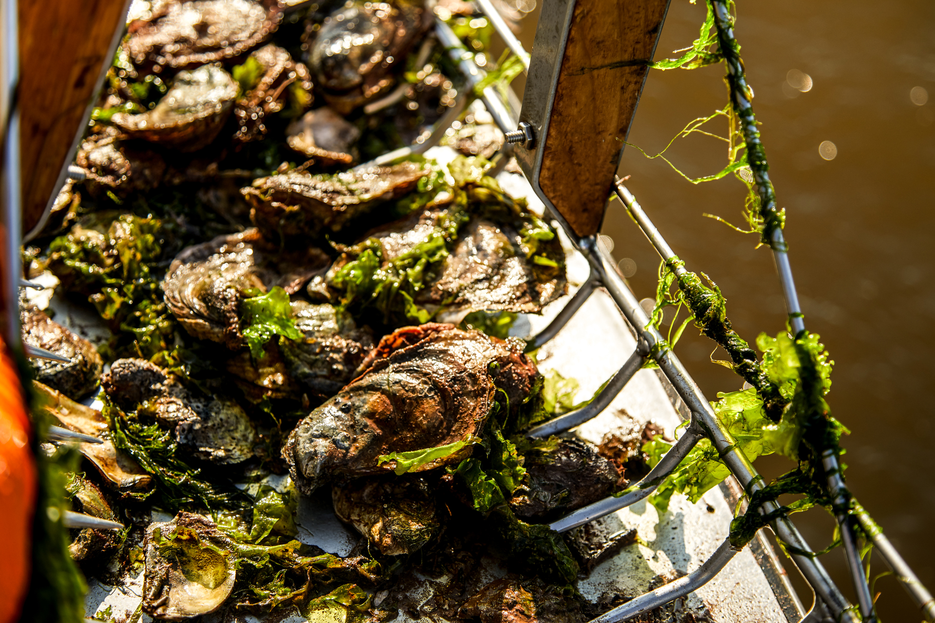 Wild Oysters coming out of the water